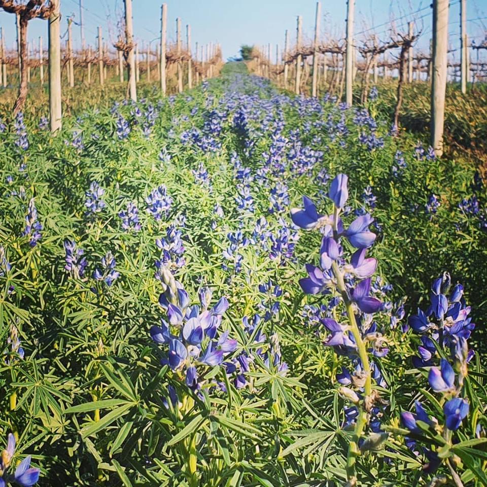 Lupiner mellem vinstokke. Lupiner trækker kvælstof ned til vinplanterne som alternativ til kunstgødning.
